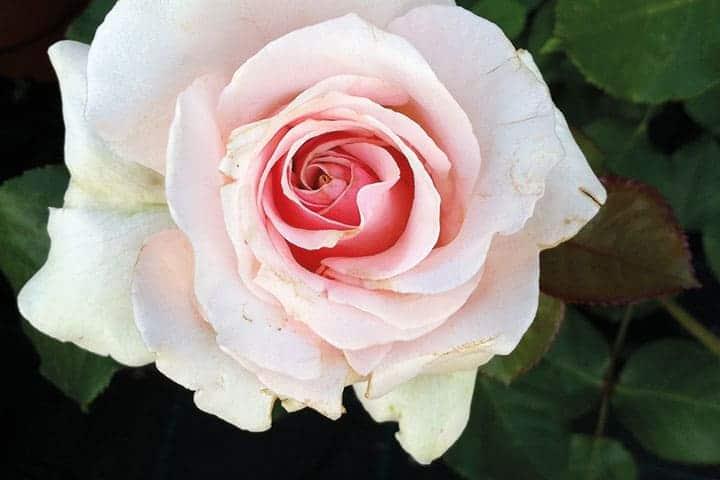coltivazione e vendita rose