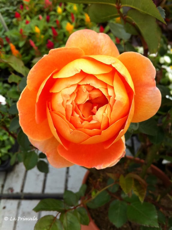 varietà rose david austin